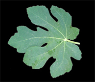 Logo of Fig Leaf